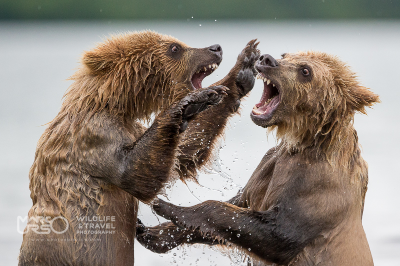 kamchatka-kuril-lake-bear-photo