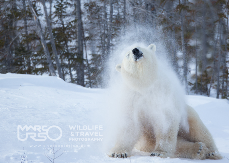 Polar Bear - Manitoba - By Marco Urso