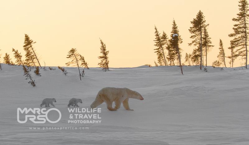 Mamma orsa e i suoi cuccioli - Manitoba - by Marco Urso