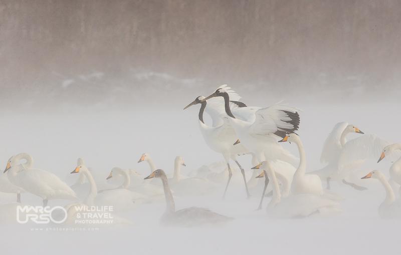 Cigni selvatici e Gru della Manciuria nel vento artico - Hokkaido, Giappone - Photo by Marco Urso photographer