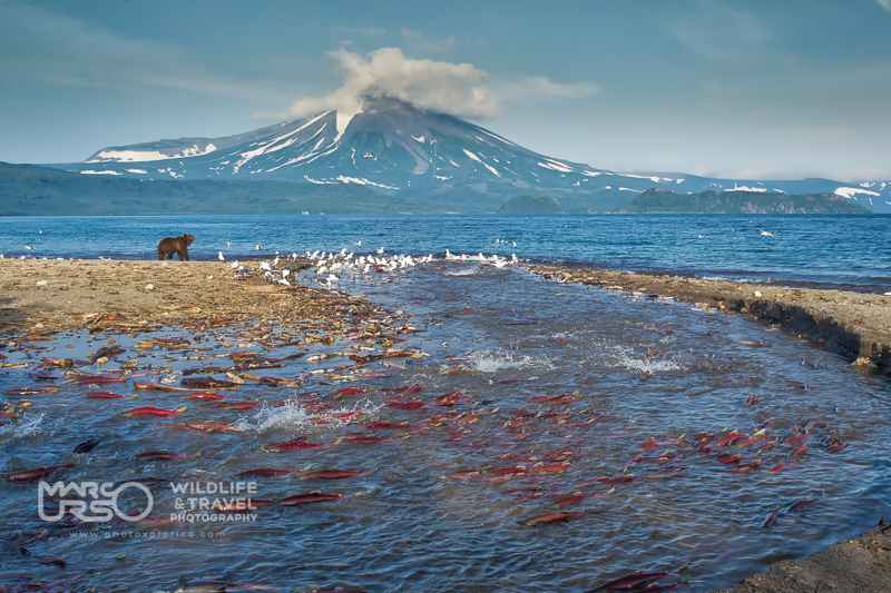 landscape of the Kuril lake with volcano, sockeye salmons and bear