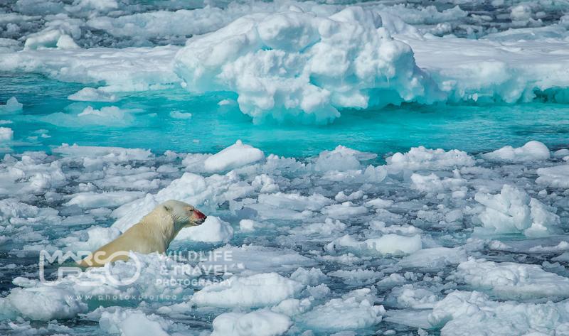 Orso polare nel suo habitat - Isole Svalbard - by Marco Urso photographer