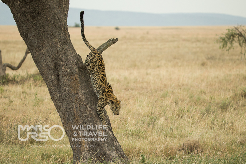 Leopardo nel Serengeti - Tanzania - by Marco Urso photographer